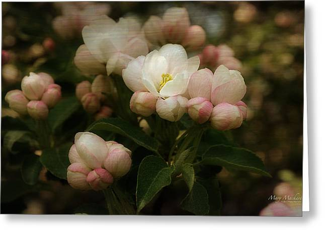 Apple Blossom Time Greeting Card by Mary Machare