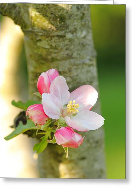 Apple Blossom Greeting Card by Victoria Hillman