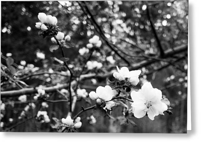 Apple Blossoms Greeting Card by Aaron Aldrich