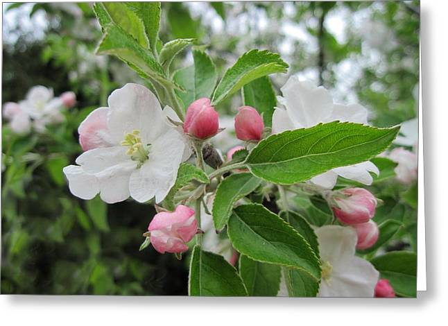 Apple Blossoms And Buds Greeting Card by Patricia E Sundik