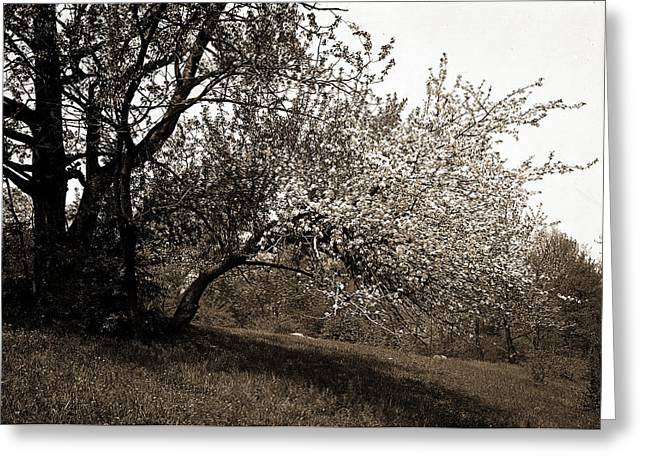 Apple Blossoms, Apple Trees, Flowers Greeting Card