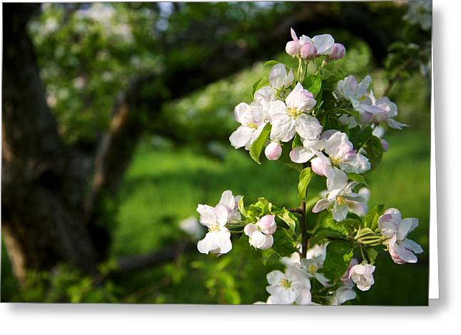 Apple Blossoms In The Orchard Greeting Card