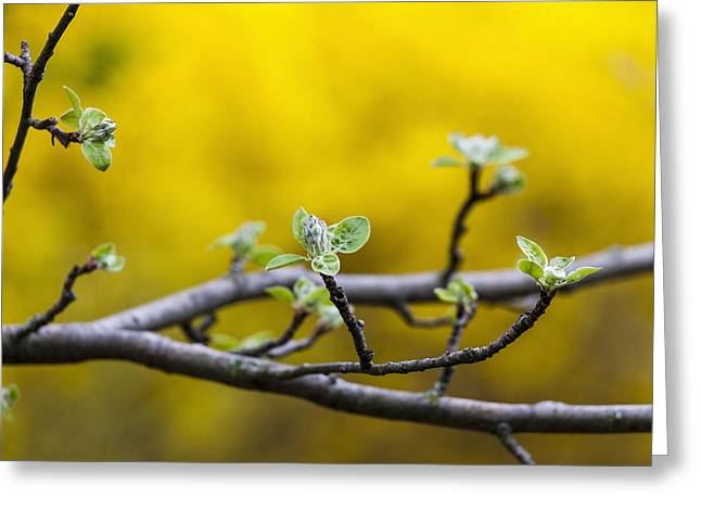 Apple Flower Buds Against A Yellow Greeting Card by Laura Berman