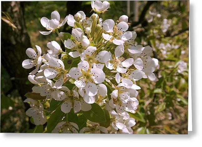 Apple (malus Domestica) Blossom Greeting Card by Adrian Thomas