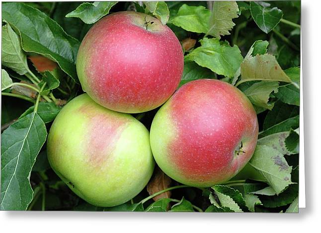 Apple (malus Domestica 'idared') Greeting Card by Bildagentur-online/mcphoto-muller/science Photo Library