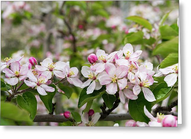 Apple (malus) Growing In The Valley Greeting Card by Martin Zwick