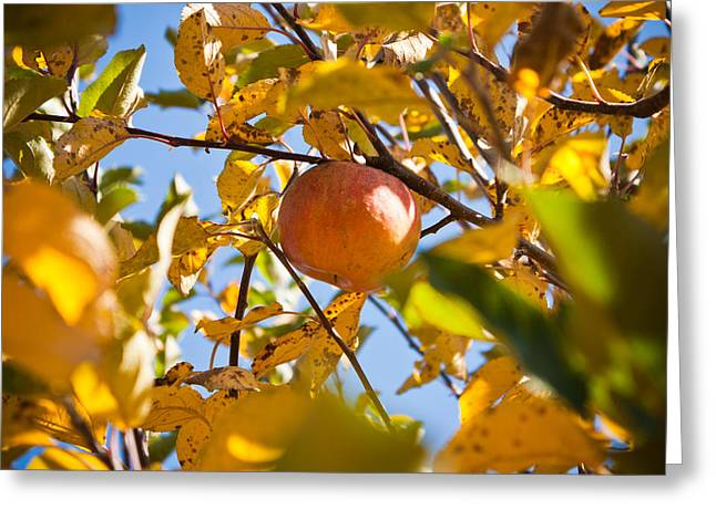 Apple Picking Greeting Card by Anthony Doudt