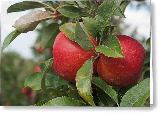 Apples On The Branch Greeting Card