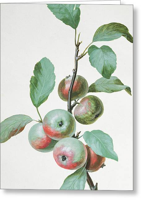Apples Greeting Card by Pierre Joseph Redoute