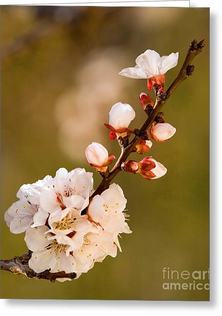 Apricot Blossom At Sunrise Greeting Card