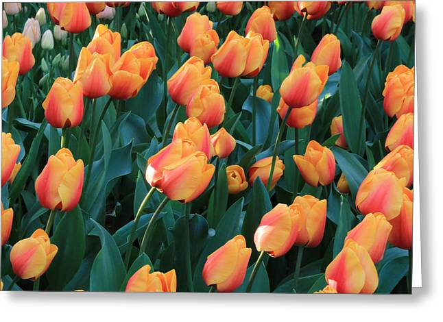 Apricot Tulips Greeting Card