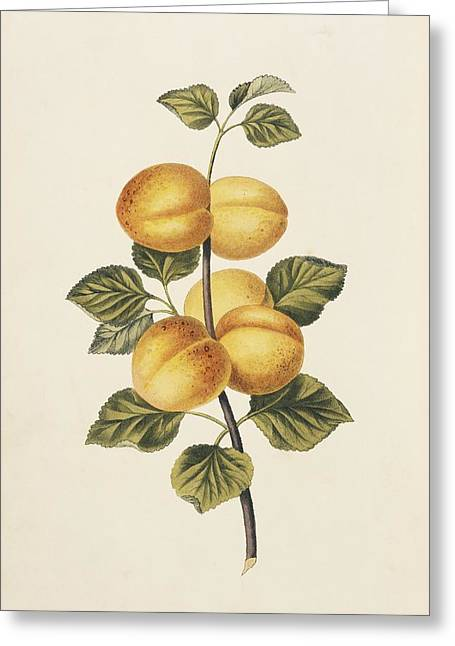 Apricots, 19th Century Greeting Card by Science Photo Library