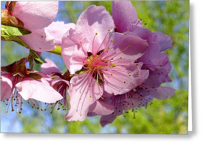 April Peach Blossoms Greeting Card