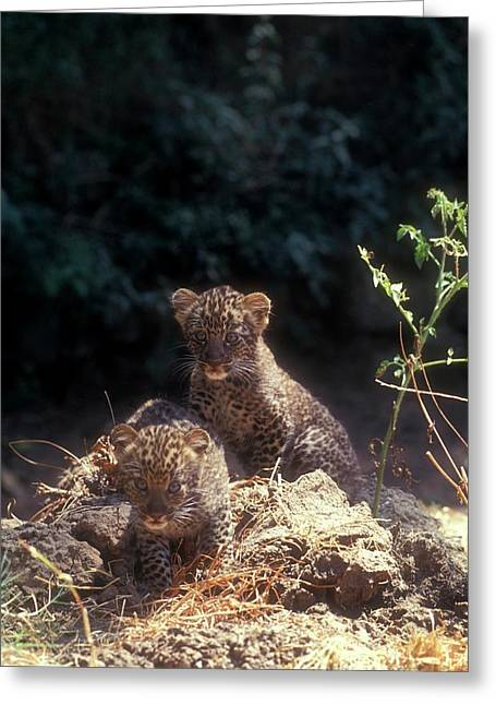 Arabian Leopard (panthera Pardus) Greeting Card
