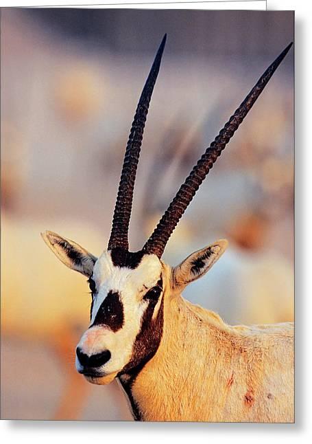 Arabian Oryx (oryx Leucoryx Greeting Card by Martin Zwick