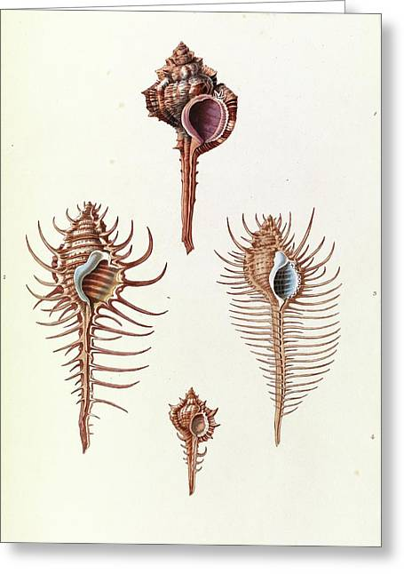 Aranea Seashells Greeting Card by Royal Institution Of Great Britain