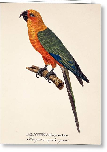 Aratinga Chrysocephalus  Greeting Card