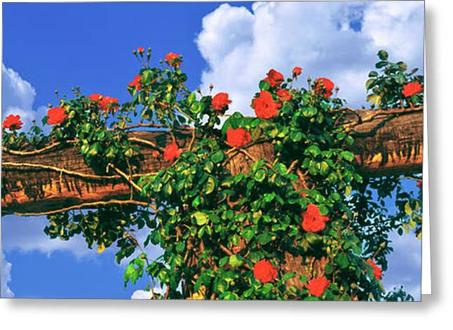 Arbor And Spreading Rose, Temecula Greeting Card