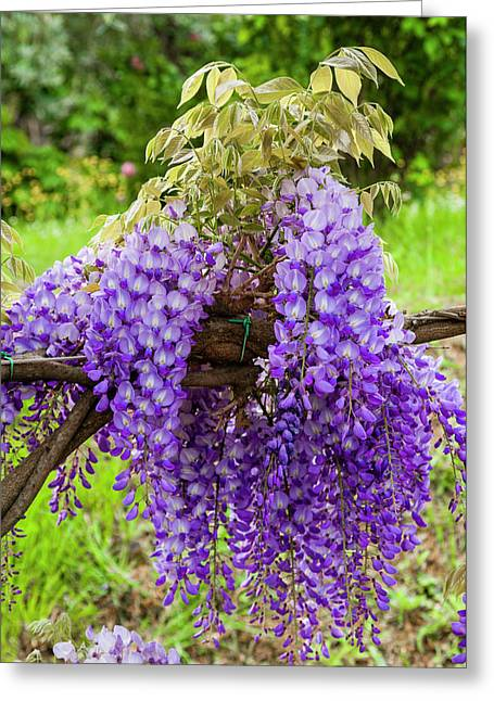 Arbor Of Wisteria In Bloom, Firenze Greeting Card by Nico Tondini