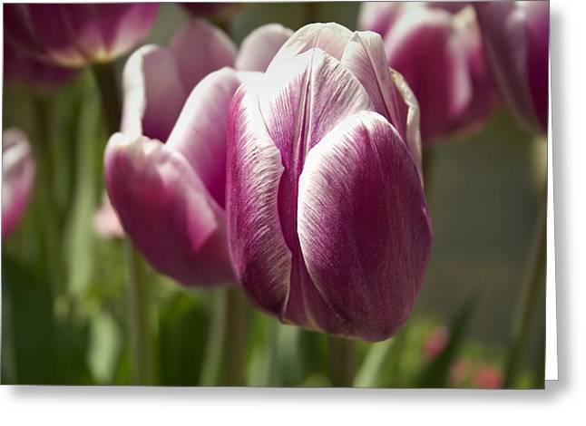 Arboretum Tulips Greeting Card