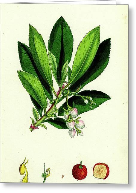 Arbutus Unedo Strawberry-tree Greeting Card by English School