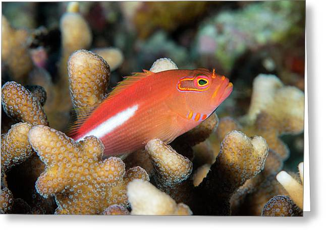 Arc-eye Hawkfish Amongst Coral Greeting Card by Louise Murray