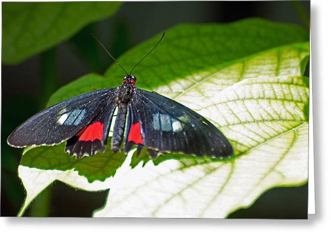 Arcas Cattleheart Butterfly Greeting Card by Cheryl Cencich