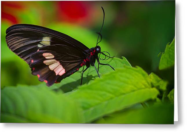 Arcas Cattleheart Butterfly Greeting Card by Lindley Johnson