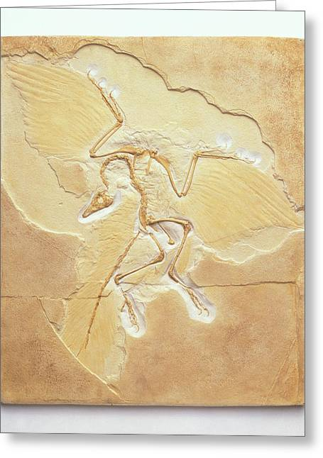 Archaeopteryx Fossil Greeting Card by Dorling Kindersley/uig