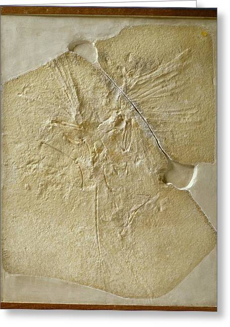 Archaeopteryx Fossil Greeting Card by Natural History Museum, London/science Photo Library
