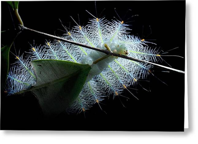 Archduke Butterfly Caterpillar Greeting Card by Melvyn Yeo
