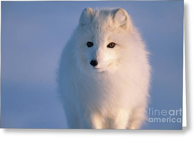 Arctic Fox North Slope Alaska Greeting Card