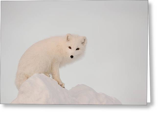 Arctic Fox Stands In Late Afternoon Sun Greeting Card