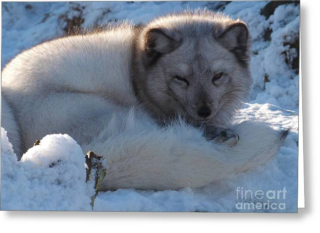 Arctic Fox - Winter Coat Greeting Card