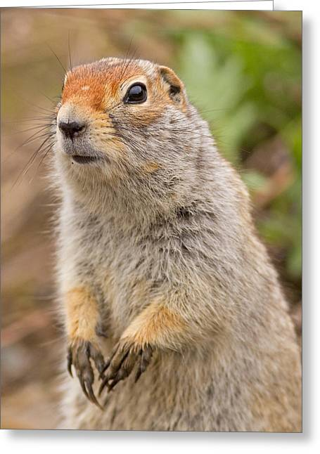 Arctic Ground Squirrel Close-up Greeting Card