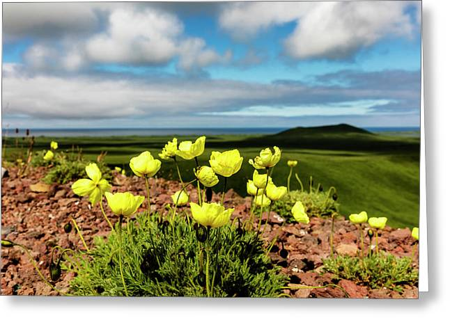 Arctic Poppy  Papaver Radicatum  Grows Greeting Card by Ray Bulson