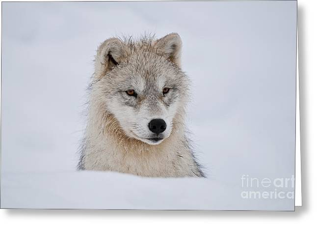 Arctic Pup In Snow Greeting Card by Wolves Only