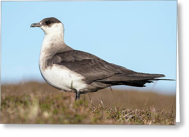 Arctic Skua Or Parasitic Jaeger Or Greeting Card by Martin Zwick