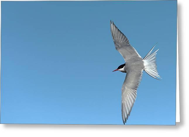 Arctic Tern Greeting Card by Dr P. Marazzi
