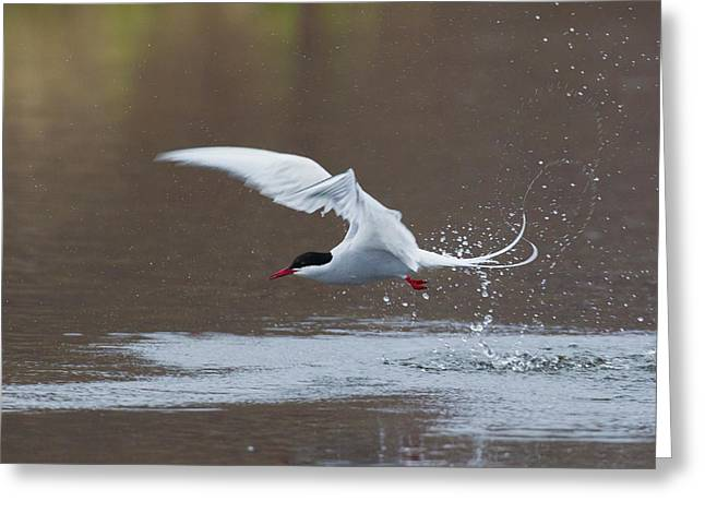 Arctic Tern Fishing Greeting Card
