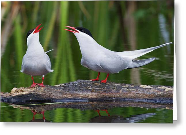 Arctic Tern Pair Greeting Card by Ken Archer