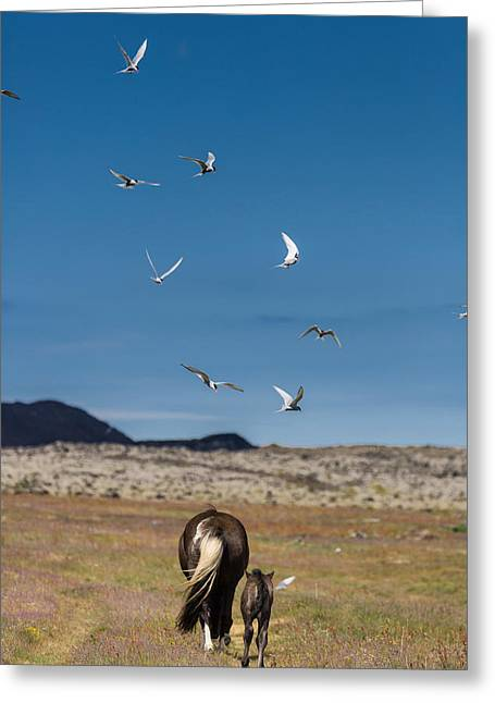Arctic Terns With Mare And Foal Greeting Card