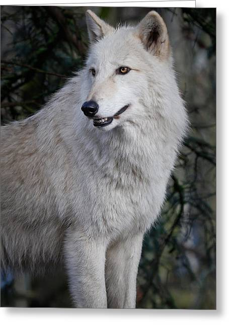 Arctic White Wolf Greeting Card