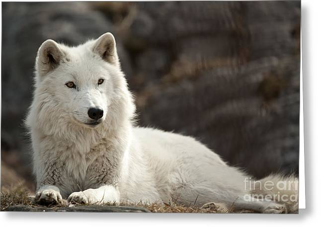 Arctic Wolf Adult Greeting Card by Wolves Only