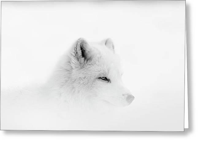 Arctic Wolf  Canis Lupus Arctos Greeting Card