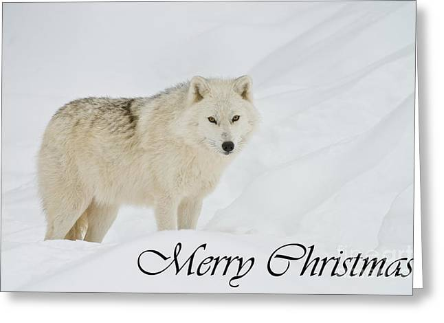 Arctic Wolf Christmas Card 1 Greeting Card by Michael Cummings