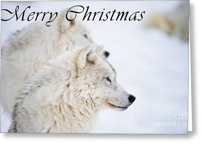 Arctic Wolf Christmas Card 12 Greeting Card by Wolves Only