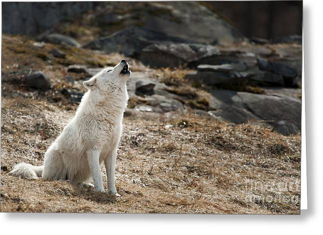 Greeting Card featuring the photograph Arctic Wolf Howling by Wolves Only