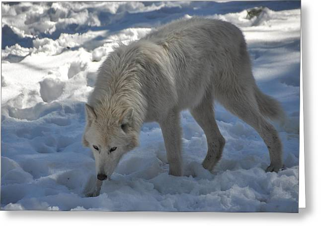 Arctic Wolf In Snow Greeting Card by Pamela Schreckengost