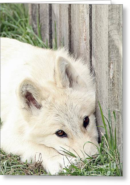 Arctic Wolf Greeting Card by Kathy Eastmond